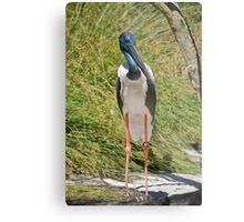 Black-Necked Stork Metal Print