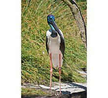 Black-Necked Stork Photographic Print