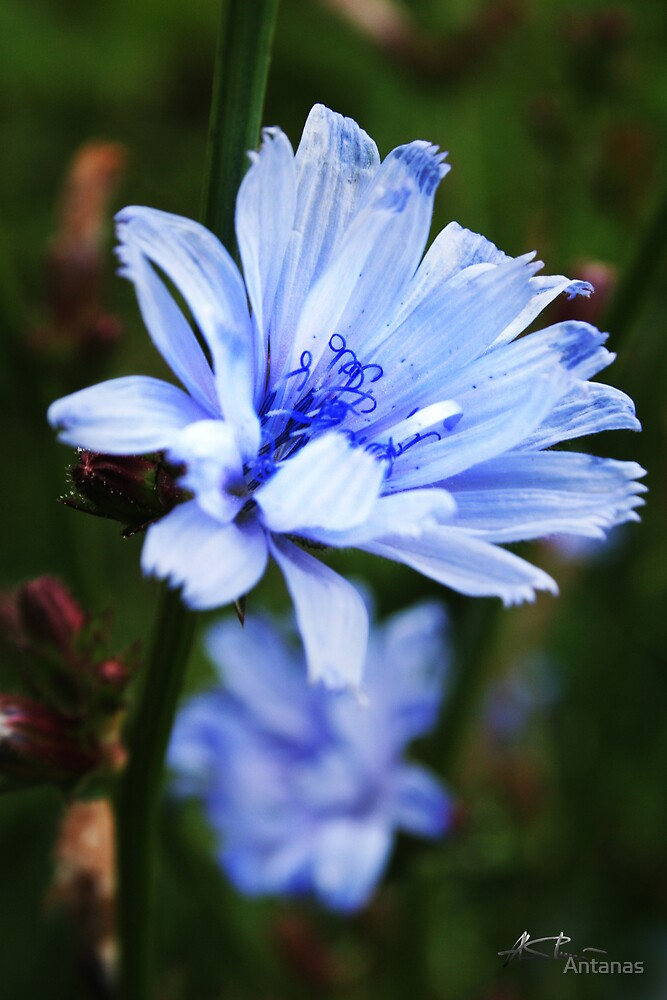Blue wild flower by Antanas