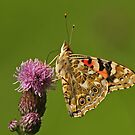 Painted Lady Butterfly by Robert Abraham