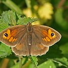 Meadow Brown  by Robert Abraham