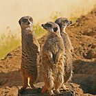 Compare the Meerkats by RedHillDigital