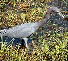 Little Blue Heron by Rosalie Scanlon
