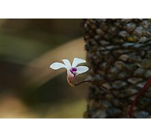 Cycad orchid Photographic Print