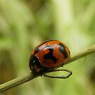 Transverse ladybird by BevB