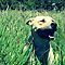 DOGS IN LONG GRASS