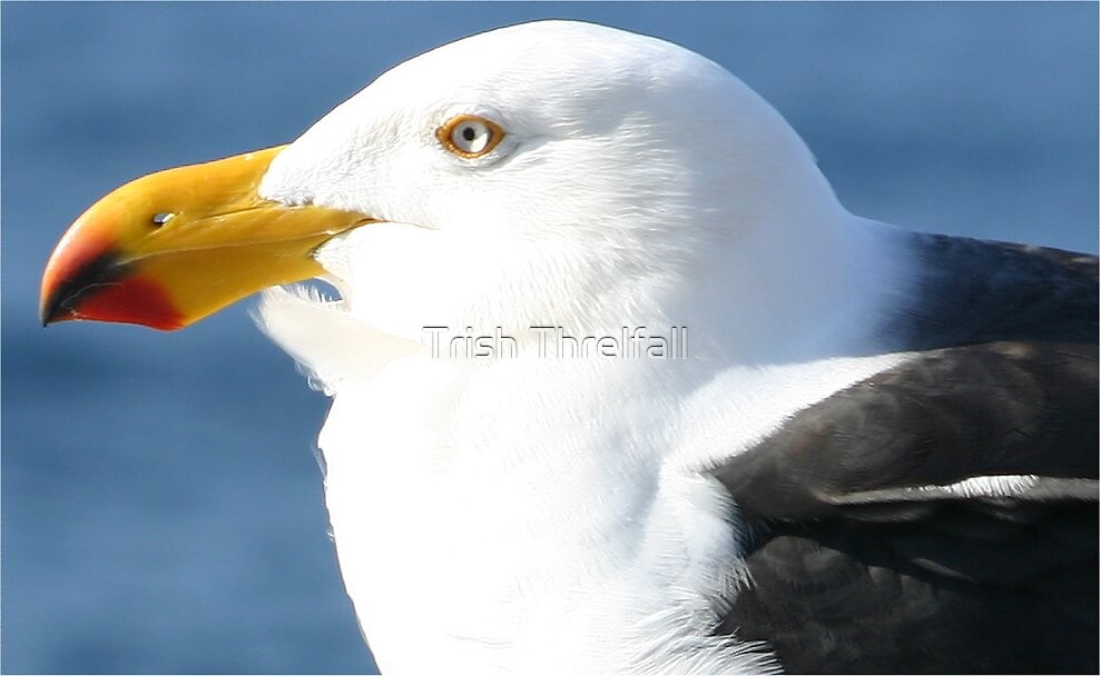 A southern Gull by Trish Threlfall