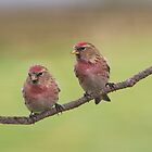 Lesser Redpolls by M.S. Photography/Art