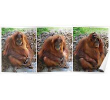 Orangutan Afternoon Poster