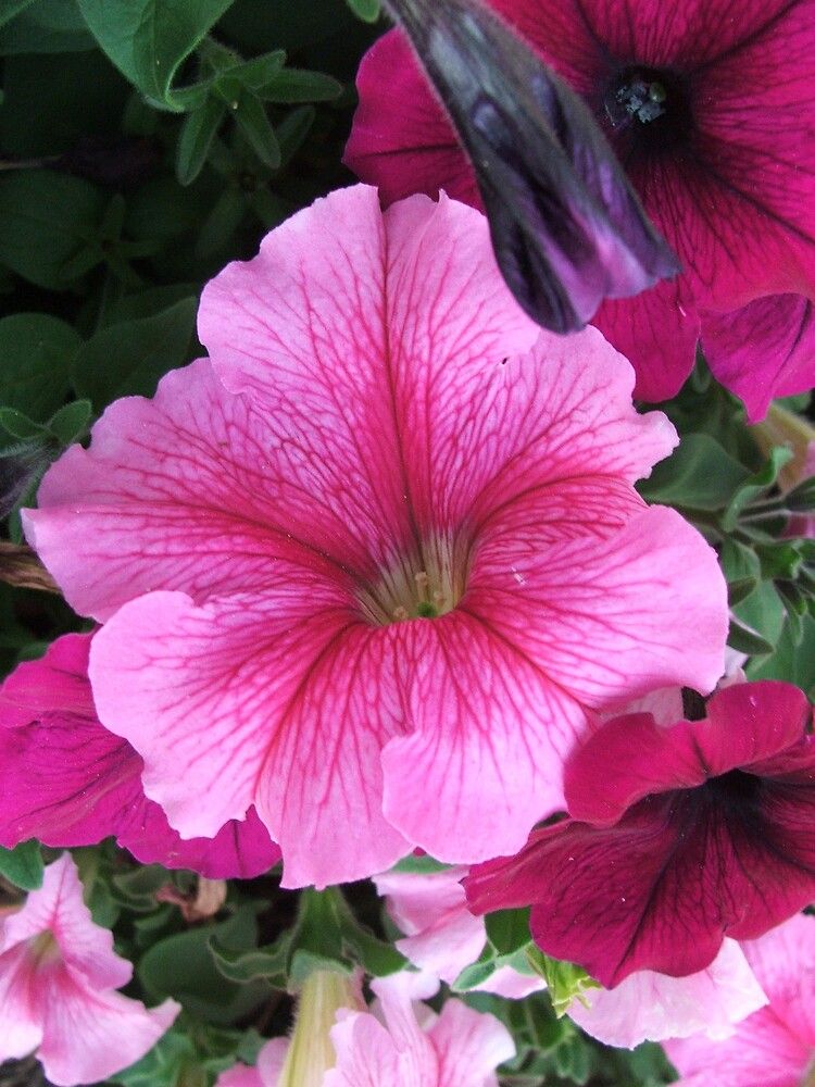 Pink Petunia by poinsiana
