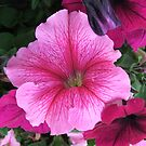 Pink Petunia by poinsiana
