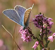 Silver-studded blue by Minne