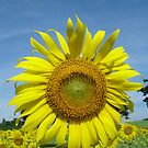 Sunflower  by Rainy