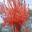 Leucospermum reflexum  (Rocket Pincushion) King's Park, Perth by Adrian Paul