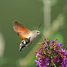 Hummingbird Hawkmoth by Robert Abraham