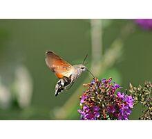 Hummingbird Hawkmoth Photographic Print