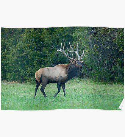 Bull Elk at Ponca Arkansas Poster