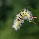 Pale Tussock caterpillar by Robert Abraham