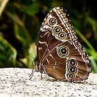 Morpho Peleides Butterfly by Joy Danen