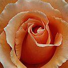 Rose of Orange by Bev Pascoe