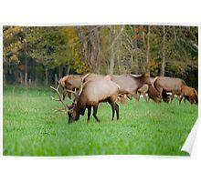 Bull Elk at Ponca Poster