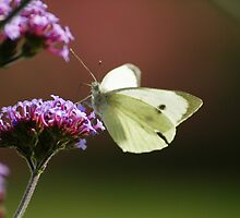 white butterfly by Sandra Kent