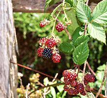 Blackberries On A Wooden Fence by Paul Evans