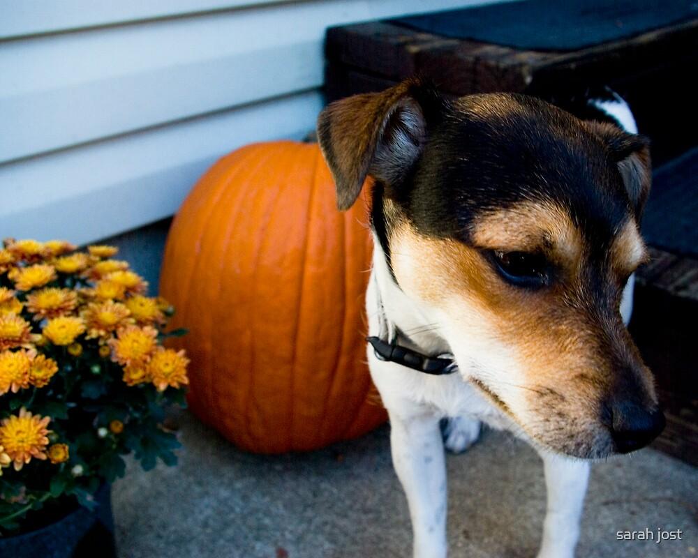 jack/rat terrier by sarah jost