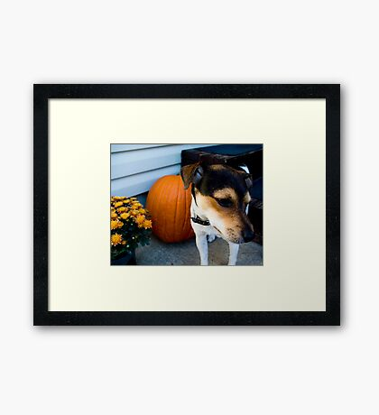 jack/rat terrier Framed Print