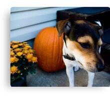 jack/rat terrier Canvas Print