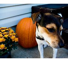 jack/rat terrier Photographic Print