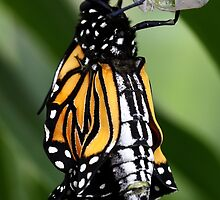 Just Emerged Monarch Butterfly by Kathy Reid