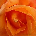 Orange Rose by WJPhotography