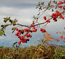 Autumn Berries by marybor