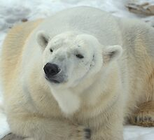 Polar Bear by Jay Ryser