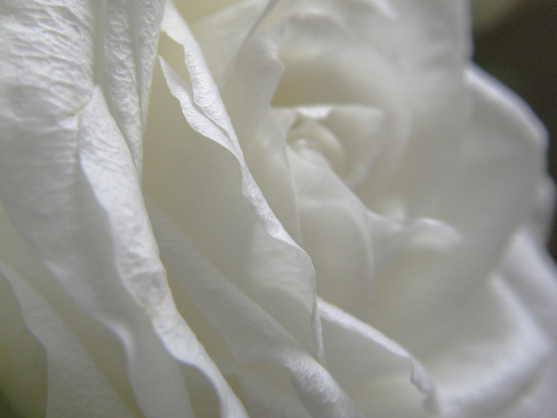 The White Rose  by mikequigley