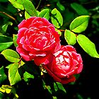 2 roses by Tymlaird