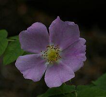 Wild Rose by Daniel Doyle