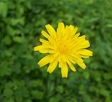 Dandelion bloom by DamianL