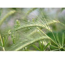 Whispering Green Grass Photographic Print