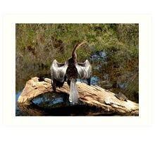 Anhinga with Silver Feathers Art Print