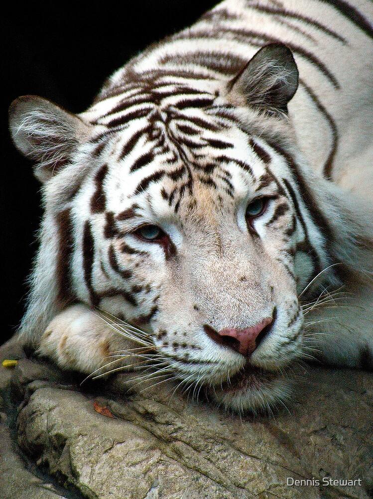 White Tiger by Dennis Stewart