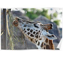 Giraffe IV Poster