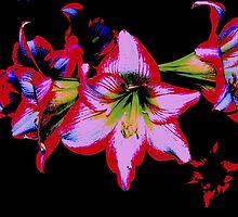 hippyastrums2 by Fraser Linden