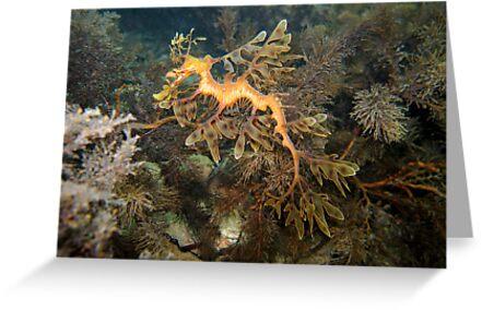 Leafy Sea Dragon - Wool Bay by Matt Gibbs