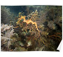 Leafy Sea Dragon - Wool Bay Poster