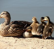 Duck Family by down23
