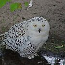 Snowy Owl by Robert Abraham
