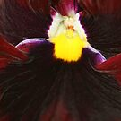 Winter Pansy by Pamela Jayne Smith