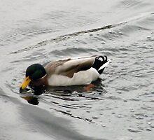 Duck in Motion by JP Maloney